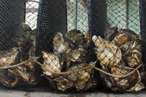 Proibida venda e consumo de ostras e mariscos produzidos no Paraná
