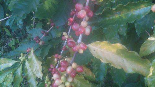 Projeto sobre café une agricultura e arte na Escola Correia Defreitas
