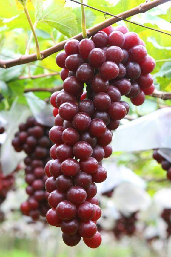 Prefeitura assina convênio para projeto piloto de plasticultura para uva
