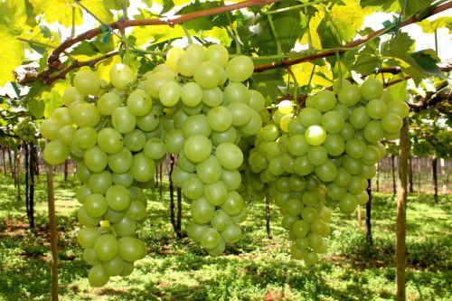 Parreiral de uvas de Marialva