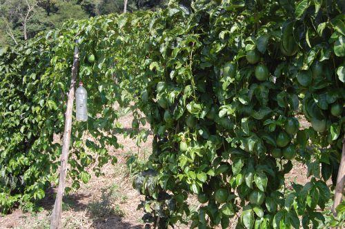 A produção de frutas aumenta a renda do produtor rural