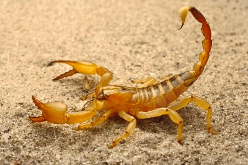 Vereador quer saber sobre medidas da Vigilância Sanitária para combater escorpiões