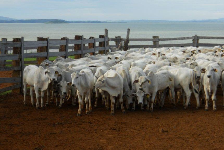 Pesquisa da UENP constata ausência de fasciolose em bovinos de Carlópolis