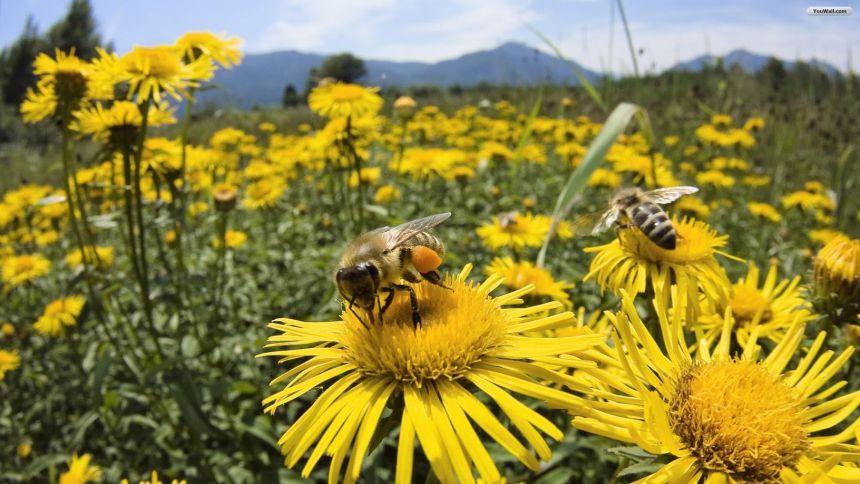 Abelhas são as principais polinizadoras