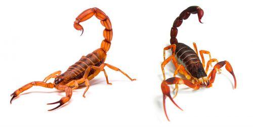 Prefeitura de Ivaiporã orienta população sobre cuidados para evitar picada de escorpião