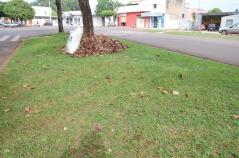 A árvore conhecida como ?castanheira?, ?sete copas