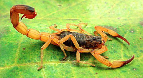 Vigilância Sanitária alerta sobre perigo do Escorpião Amarelo
