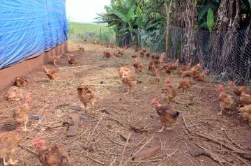 O manejo e a produção de carne de frango caipira já é disseminada em Ubiratã