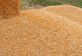 Serão disponibilizadas até 3 sacas de sementes de milho para cada agricultor