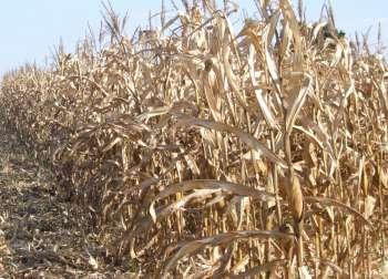 Os produtores que possuem até 8 alqueires paulistas e tiveram prejuízos com a seca podem fazer inscrição para receber as sacas de sementes de milho