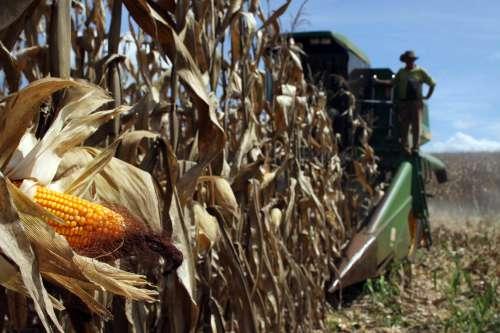 Produção da segunda safra de milho deve aumentar 50% este ano