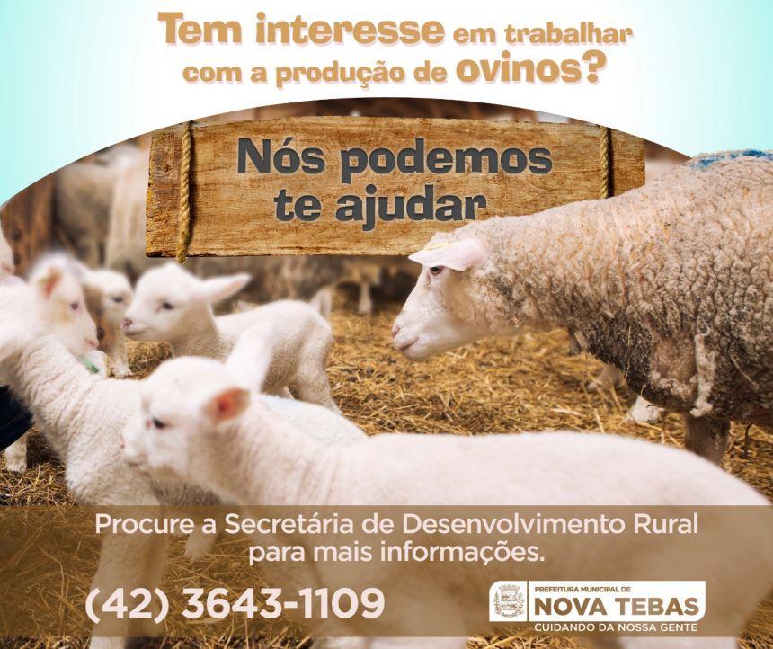 Criação de Ovinos em Nova Tebas