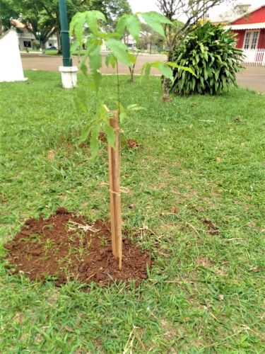 Prefeitura de Mandaguari celebra Dia da �rvore com plantio de mudas